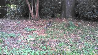 The baby in this video was a rehab that I was working with. We had her outside acclimating her (She is only 5 weeks). The female squirrel decided the distres...