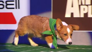Puppy Profile: Clyde the Corgi | Puppy Bowl XIV by Animal Planet
