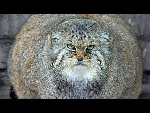 WHOPPERS! World's FATTEST CATS! (Ultimate Fat Cat Compilation Video!)