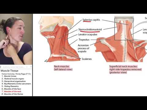Anatomy of neck muscles