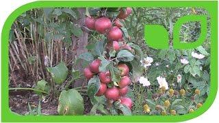 Kleine Früchte auf Malini Apfelsäulenbäumen