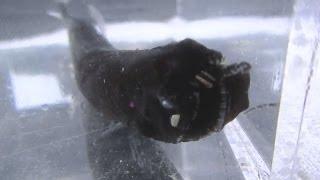 【高知県】閲覧注意!不気味な深海魚ホテイエソ105匹が捕獲された