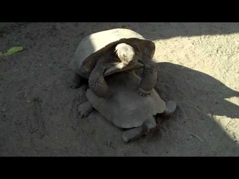 Χελώνα που προσπαθεί να...