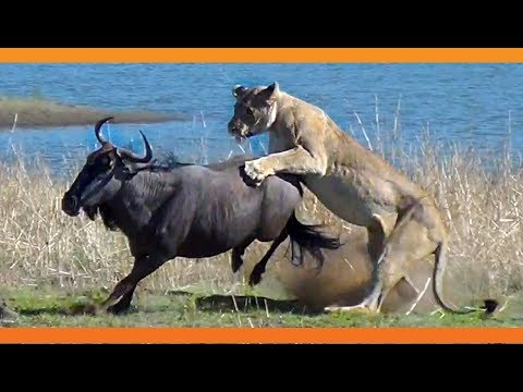 Lions Hunt Pregnant Wildebeest and Pull the Baby Out! (видео)