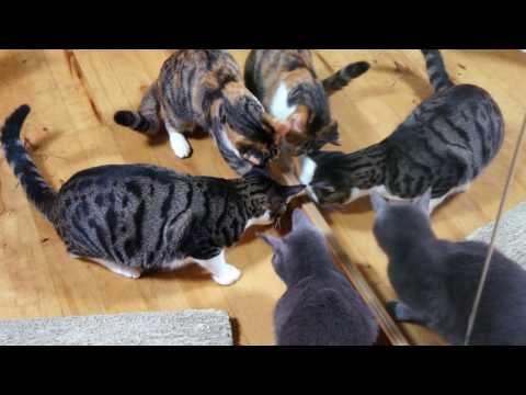 「[ネコ]猫4匹に囲まれ死んだふりをするアシダカグモ」のイメージ