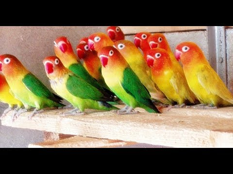 Love Birds Colony Breeding - Easy Way To Breeding