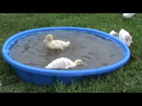 Video Baby Pekin Ducklings Dive and Swim Underwater. Mama hen thinks her children are crazy! download in MP3, 3GP, MP4, WEBM, AVI, FLV January 2017