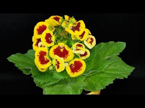 calceolaria - cure e caratteristiche