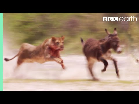 Young Lions Mercilessly Attack Donkey Herd | Natural World: Desert Lions | BBC Earth