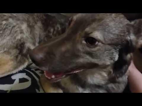 Уход после стерилизации за собакой и кошкой (применяется и при кастрации, лапароскопия)