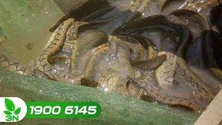 Thủy sản | Kỹ thuật nuôi cá chạch trong bể xi măng