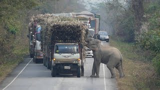 Elephant Stops Passing Trucks To Steal Bundles Of Sugar Cane