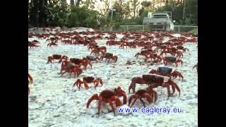 Australien bietet wirklich Touren der Superlative. Seien Sie dabei wenn die Rote Krabbe von Christmas Island mit ihrer...