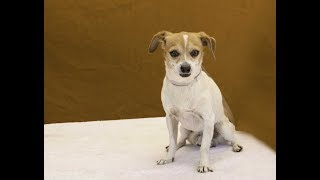 A5089351 Moyo is a polite and observant 8-year-old white-and-tan male Chihuahua mix whose owners surrendered him to the Baldwin Park Animal Care Center on July 14th because they were moving and not taking him along. Weighing 8 lbs, Moyo was shy at first with our volunteer who went to get him from his kennel, but it didn't take him long to trust her. He has good manners, is good on leash, is non-responsive toward other dogs, and greets new people with enthusiasm. We think this little guy with so much to offer and the potential to bloom once out of the shelter will fit into any household (as long as any children know to respect his small size) as a beloved indoor pet and family companion.For more information on this pet, contact volunteer UHA adoption coordinator Sandra at 323-350-7207 or sandraburkhardt07@yahoo.com.United Hope for Animals is not a facility. To CHECK THE STATUS of this animal, contact the BALDWIN PARK SHELTER in person, by phone or on their website:Address: 4275 Elton St, Baldwin Park, CA 91706Phone: (626) 962-3577Website: http://1.usa.gov/1oB6G0pIf you end up adopting this animal, please give a shout out to #unitedhopeforanimals @UnitedHope on social media,  leave a comment here as a thank you to our Volunteers, or donate to UHA at http://unitedhope4animals/donate. Thank you for looking! Please SHARE this animal if you are unable to adopt. United Hope for Animals links:ADOPTABLE PETS: http://goo.gl/gY1ReUFACEBOOK: https://www.facebook.com/UnitedHopeTWITTER: https://twitter.com/UHope4AnimalsINSTAGRAM: http://instagram.com/unitedhopeforanimalsWEBSITE: http://unitedhope4animals.orgOur Mission:United Hope for Animals is dedicated to reducing homelessness among companion animals through spay/neuter, shelter support, photography, video and networking of shelter animals in Southern California. It is an all-volunteer, non-profit organization working to end homelessness among companion animals by supporting shelter adoptions and spay/neuter programs. Through 