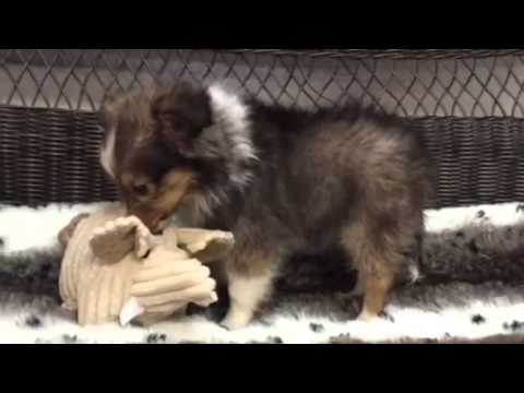 Prefect for any family! Precious Sheltie puppy