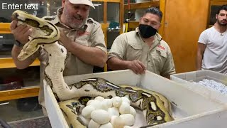 NEVER Seen an Egg Like This ! CRAZY SNAKE Genetics At Prehistoric Pets by Prehistoric Pets TV