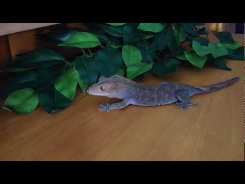 Basic Crested Gecko Care
