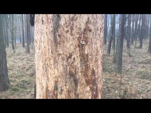 Wideo1: Walka z kornikami w Karczmie Borowej