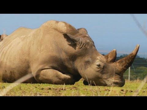Умер Судан - последний самец северного белого носорога (видео)