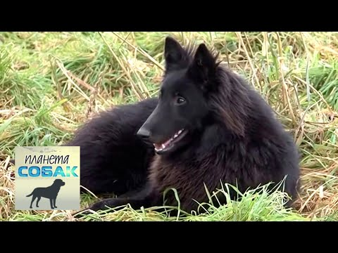 Бельгийская овчарка Грюнендаль. Планета собак