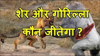 शेर और गोरिल्ला की लड़ाई | Gorilla Vs Lion, Buffalo vs Rhino, Gorilla big baboon vs biggest cat