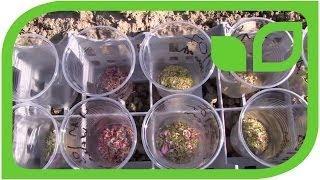 Apple breeding: how to prepare pollen for apple crosses