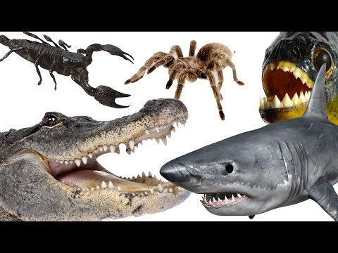 Download Top 10 Most Dangerous Animals In The World HD Mp4 3GP Video and MP3