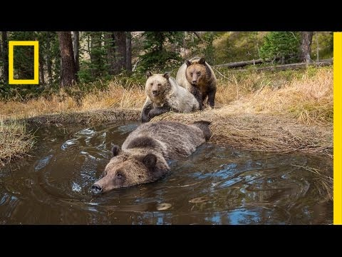 Bear Bathtub Caught on Camera in Yellowstone