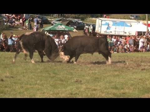 Video Bull fights help ease Bosnia's ethnic divisions download in MP3, 3GP, MP4, WEBM, AVI, FLV January 2017