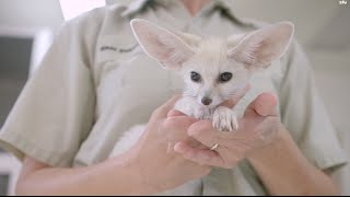 Bouncing Baby Fox Pounces and Plays at the San Diego Zoo - YouTube