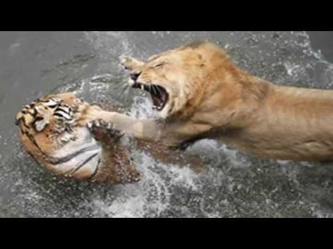 tigre vs leon batalla - NO TE OLVIDES DE COMPARTIR EL VÍDEO CON TUS AMIGOS Y DARLE A ▷
