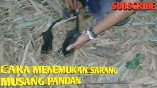 Download Video Cara Menemukan Sarang Musang Pandan MP3 3GP MP4