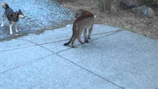 Video Hungry Cougar vs brave dogs, Highlands, Victoria MP3, 3GP, MP4, WEBM, AVI, FLV Mei 2017