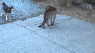 Video Hungry Cougar vs brave dogs, Highlands, Victoria MP3, 3GP, MP4, WEBM, AVI, FLV Juni 2017