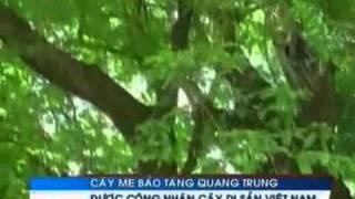 Một Cây Me được Công Nhận Là Di Sản Việt Nam   Tin Video 24h Video Video