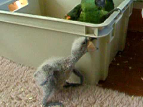 Baby Kea Parrot few days old