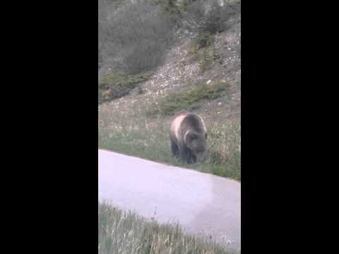 Grizzly bear mock charges on Banff Avenue