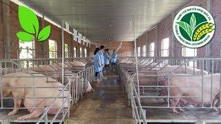 Tận mục trại nuôi heo theo tiêu chuẩn VietGAHP đầu tiên tại TP.HCM