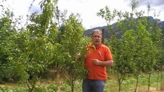 #88 Der kräuselkrankheitstolerante Pfirsich Benedicte