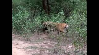 Sariska India  city photos : Tiger killed a leopard at Sariska National park,India