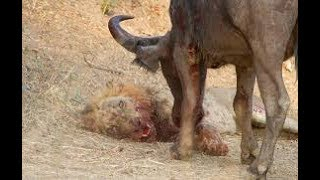 Lion vs Elephant - Buffalo Kills Lion - Wild Animal Attacks