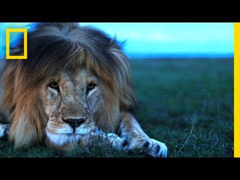 Understanding the Lives of Lions | National Geographic (видео)