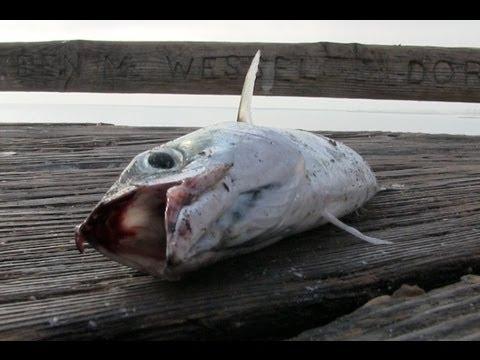 你有聽過魚的叫聲嗎?