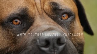 BOERBOEL A MASTIFF DOG BRED TO DO BATTLE WITH AFRICAN LIONS