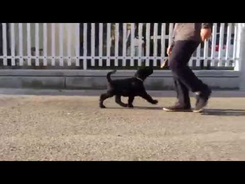 Vendita terrier nero russo - cuccioli