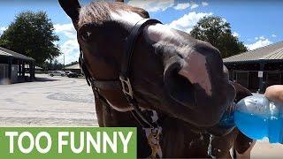 Thirsty Horse Chugs an Entire Bottle of Blue Gatorade