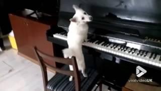 animale cainele la pian