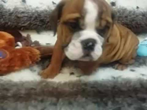 WRINKLES GALORE! AKC ENGLISH BULLDOG PUPPY!