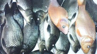 Download Video Umpan Ikan mas air keruh MP3 3GP MP4