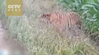 بالصدفة.. سائق يعثر على نمر سيبيرى نادر جدا
